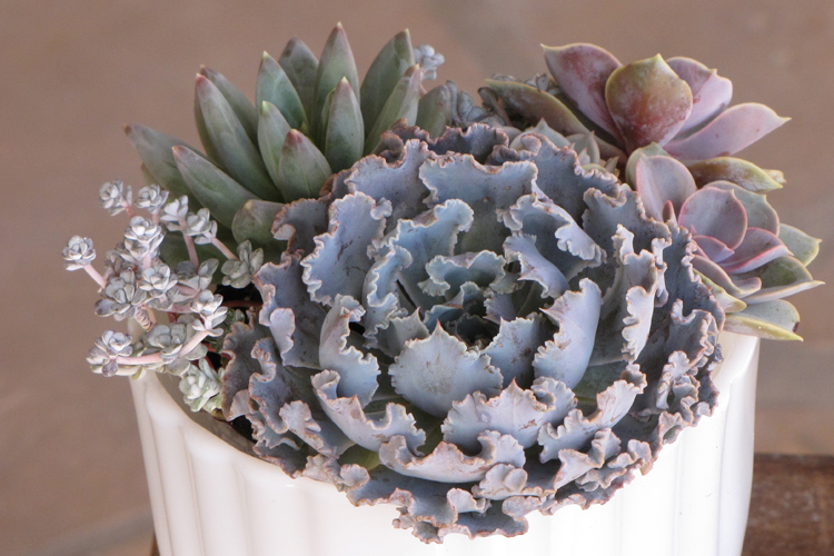 close up of  Echeveria shaviana 'Truffles', Echeveria 'Perle von Nurnberg', Pachyveria glauca 'Little Jewel', and Sedum spathulifolium 'Capo Blanco' in milk glass footed bowl