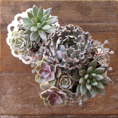 overhead view of milk glass pedestal bowls with Echeveria shaviana 'Truffles', Echeveria 'Perle von Nurnberg', Echeveria 'Lola', Pachyveria glauca 'Little Jewel', and Sedum spathulifolium 'Capo Blanco'