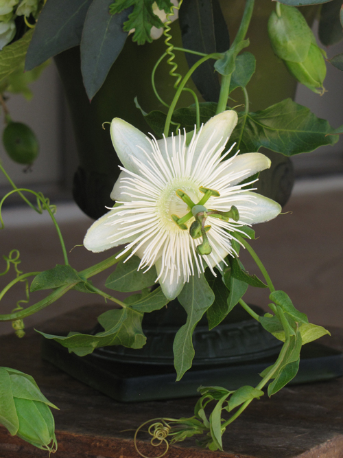 single white passion flower