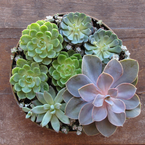 succulent rental centerpiece with Echeveria 'Perle von Nurnberg', Pachyveria glauca 'Little Jewel', Sedum spathulifolium 'Capo Blanco', Echeveria minima, and Echeveria 'Lime and Chile' by Floral Verde LLC