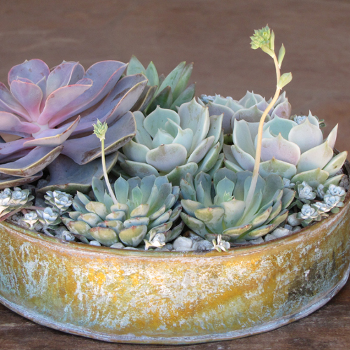 succulent rental centerpiece with Echeveria 'Perle von Nurnberg', Pachyveria glauca 'Little Jewel', Sedum spathulifolium 'Capo Blanco', Echeveria 'Lola', and Echeveria minima in a distressed metal tray