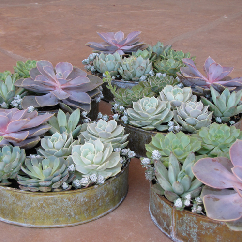 succulent rental centerpieces with Echeveria 'Perle von Nurnberg', Pachyveria glauca 'Little Jewel', Sedum spathulifolium 'Capo Blanco', Echeveria 'Lola', Echeveria minima, Echeveria 'Dondo', Echeveria 'Lime and Chile', Echeveria 'Ramillette', Graptoveria 'Moonglow', and Echeveria ciliata by Floral Verde LLC