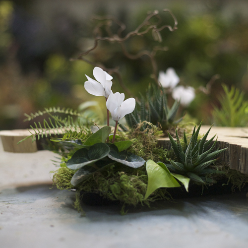Woodland centerpiece detail with a large wood slab from a Juniper tree, contorted filbert branch, white cyclamen, Haworthia fasciata, Grevillea, sea star fern and moss