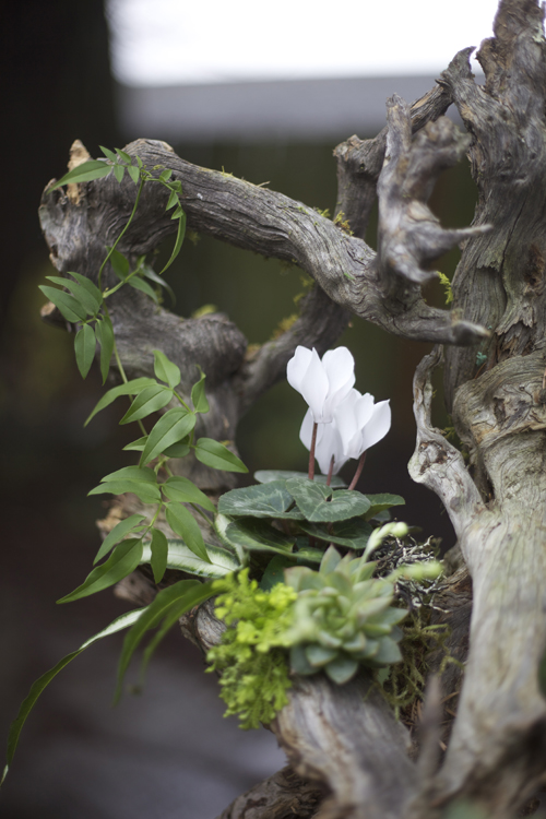 detail of woodland arrangement on a root structure with white cyclamen, Pteris ensiformis 'Silver Lace Fern', jasmin vine, succulents, lichen and moss