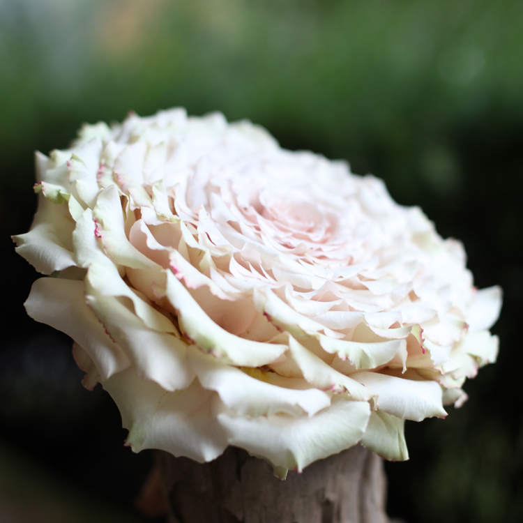 Duchess rose bridal bouquet made of Quicksand roses.