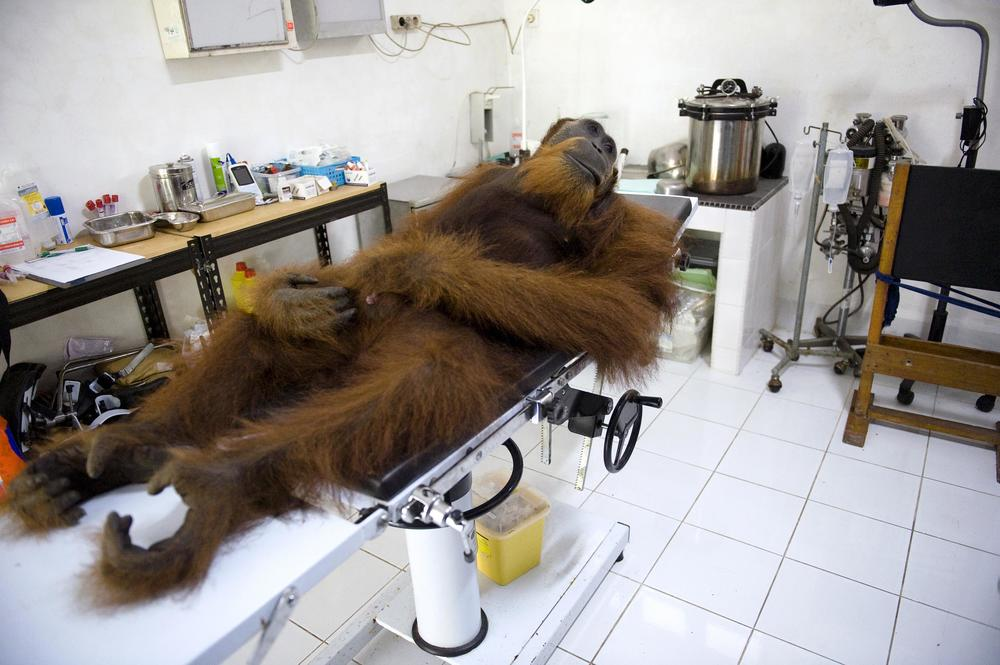 Indonesia's Last Orangutans, Sandra Hoyn, Word Press Photo 2015.