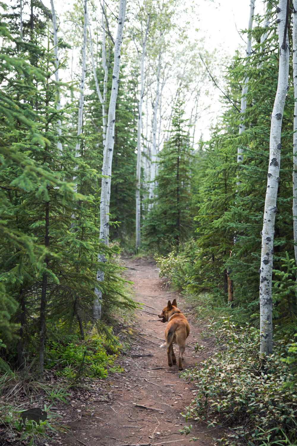 Adventure pup leads the way while on patrol for rabid squirrels.