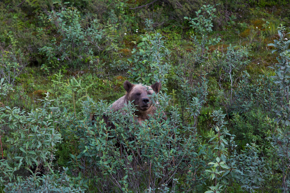 We also spotted three grizzlies while driving towards Eagle Plains.