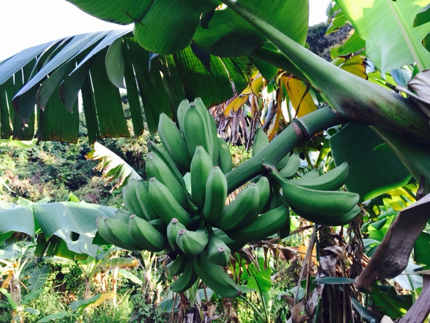 Bananas on Lamma Island!