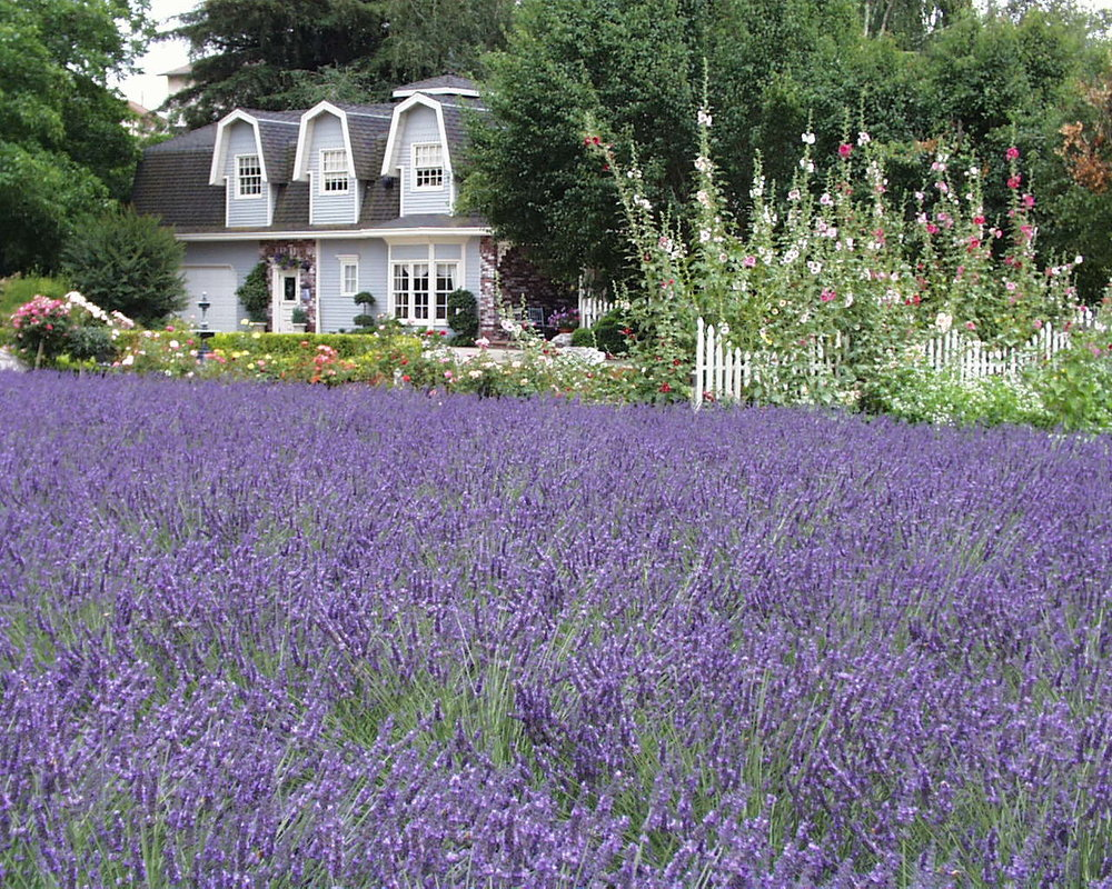 lavender_098.jpg