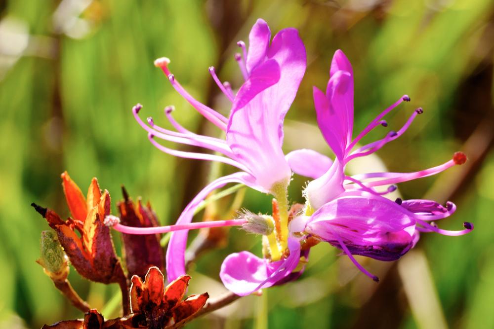 Magenta Blossom #2