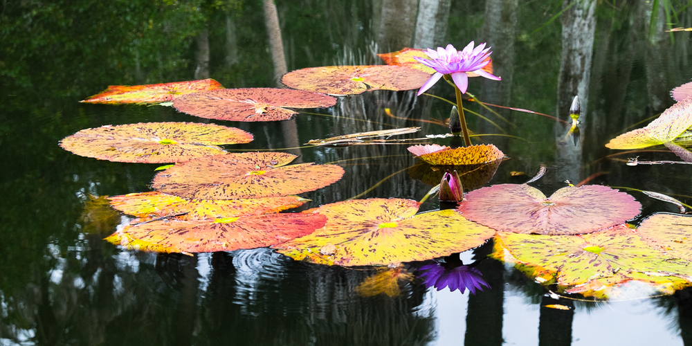 Flowering Water Lily