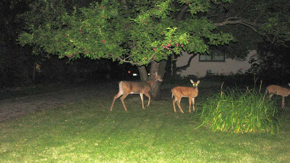 Deers in town, at Winnipeg (Manitoba)