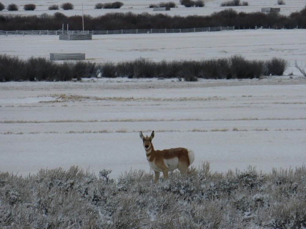 "First Antelope sighting, I bet it was his first ""Winter Divide Cyclist"" sighting too"