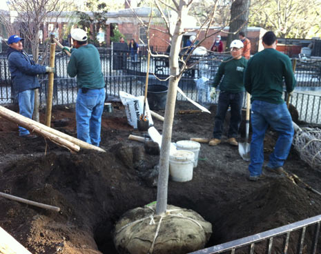 Our new trees arrive to replace damage to the old trees in the run by Hurricane Sandy