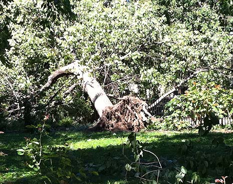 Hurricane Irene toppled many trees in the park