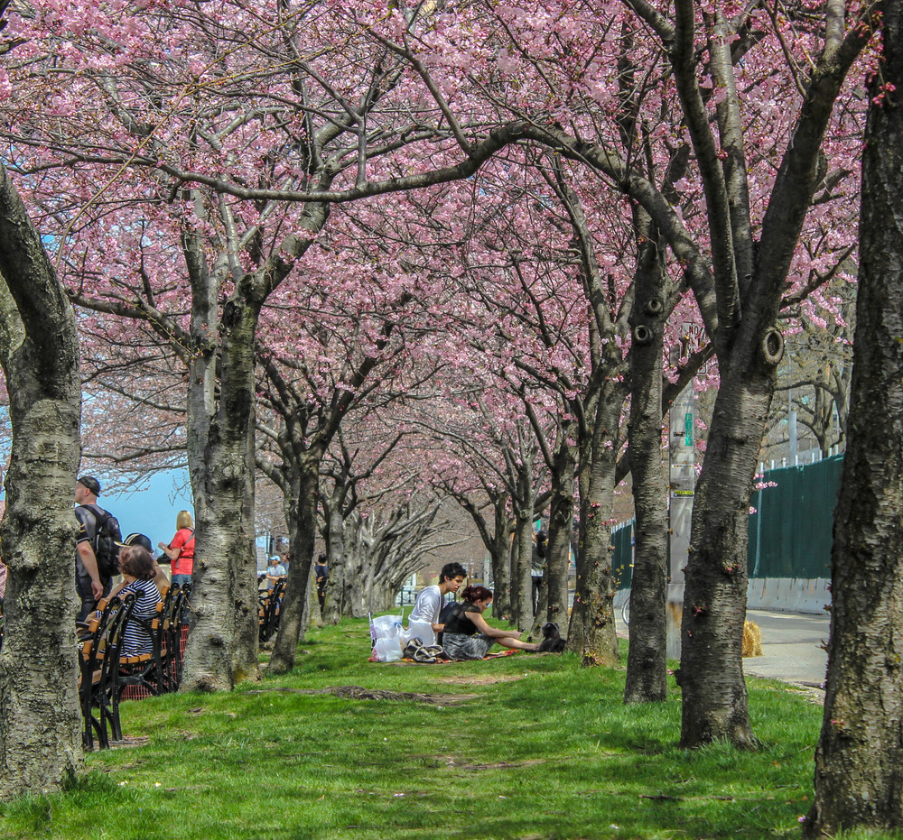 Cherry Blossoms at Roosevelt Island