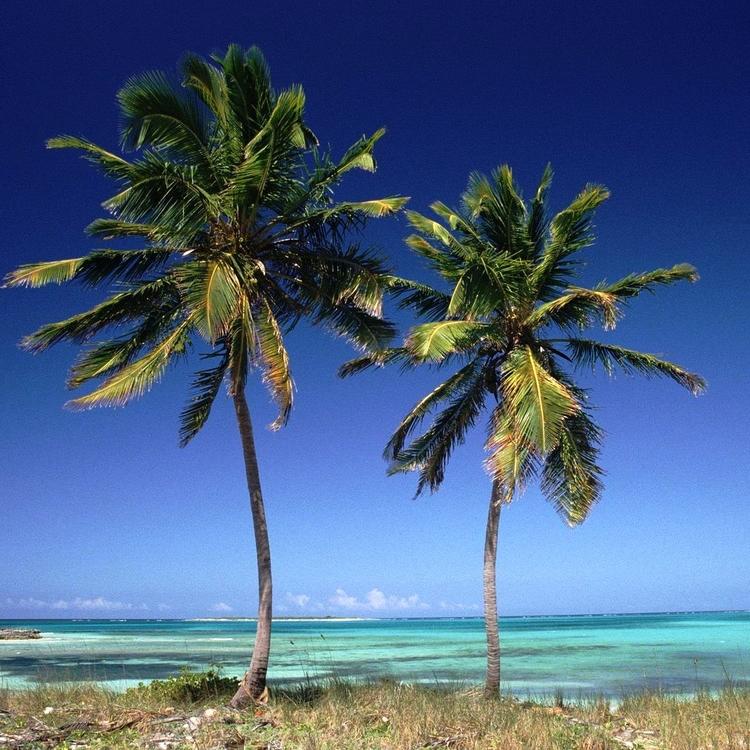Coconut_Palms_Bahamas.jpg