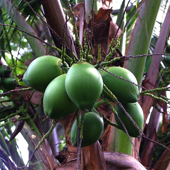 Coconut-Palm.jpg