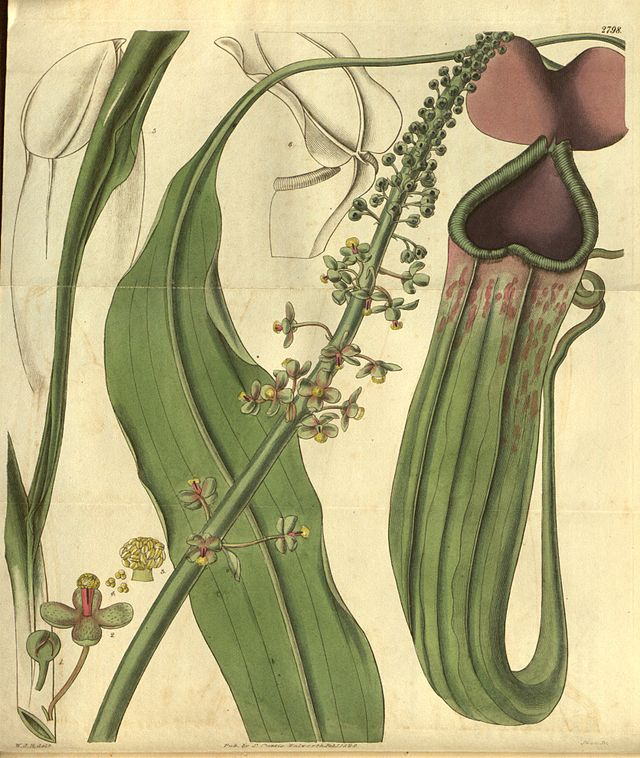 Nepenthes_khasiana_-_Curtis's_Botanical_Magazine_(1828).jpg