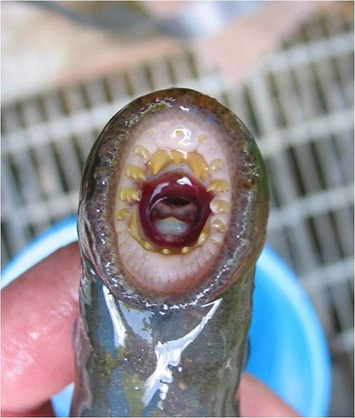 509px-Adult_pacific_lamprey_mouth_tooth_pattern.jpg