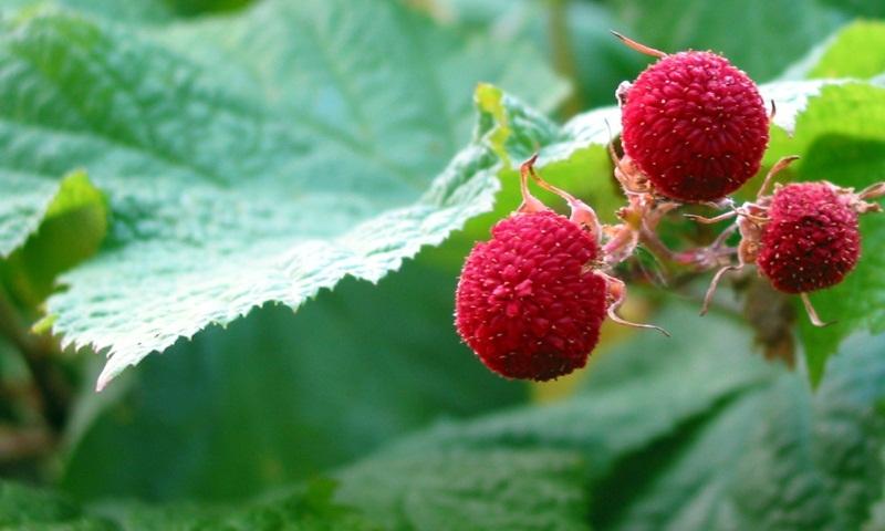 Thimbleberry.jpg