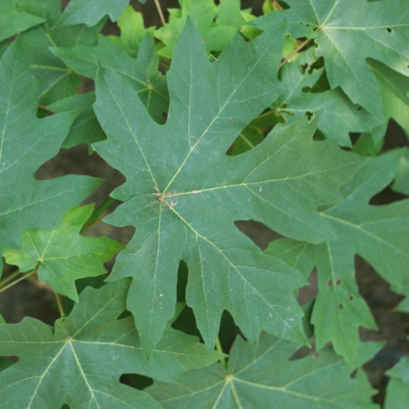 Acer_macrophyllum_leaves_(SuperFantastic)_001.jpg