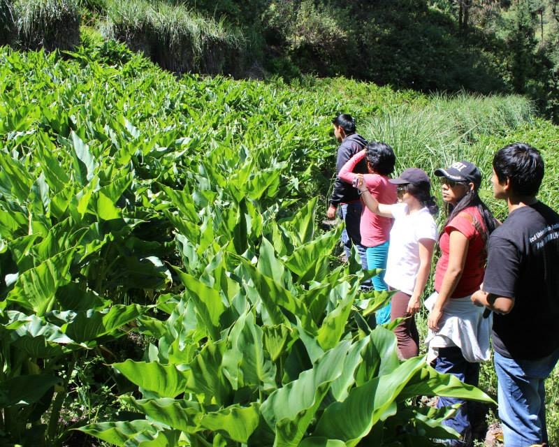 Volunteers inspecting crops on reclaimed terrace (Photo Mullapata)