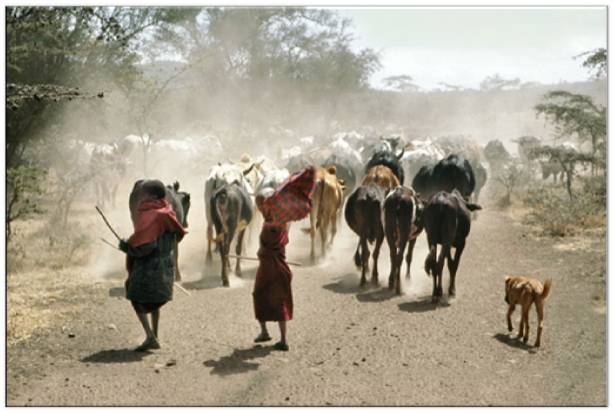 Laiyons herd cattle on the dusty tracks (Photo Serian UK)