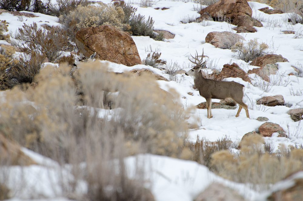 Antelope Island Deer.jpg