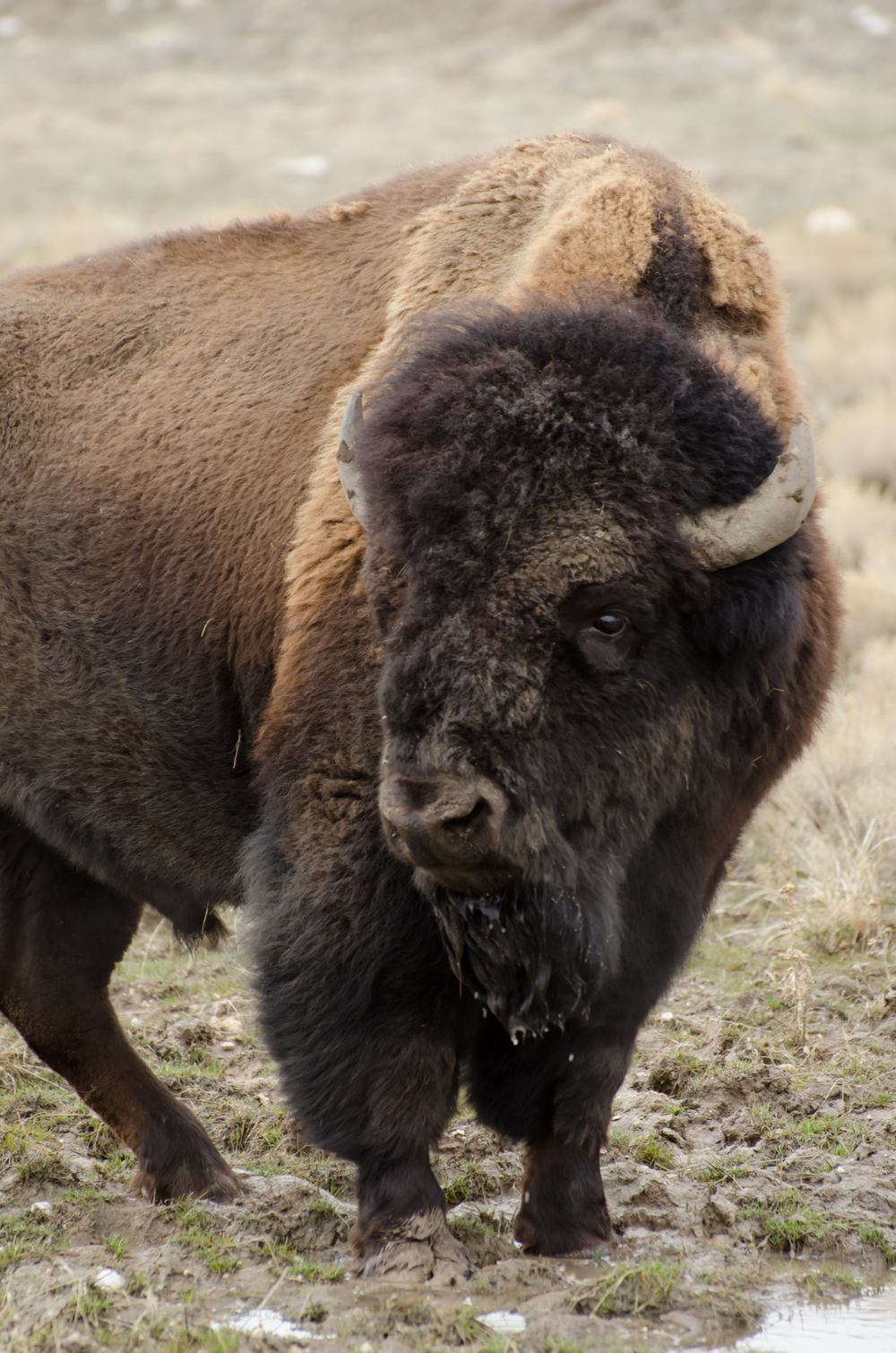 Antelope Island Bison Buffalo.jpg