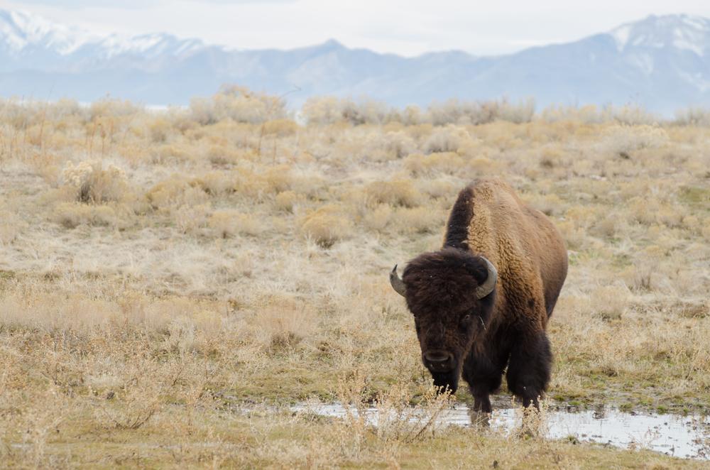 Antelope Island Buffalo Bison.jpg