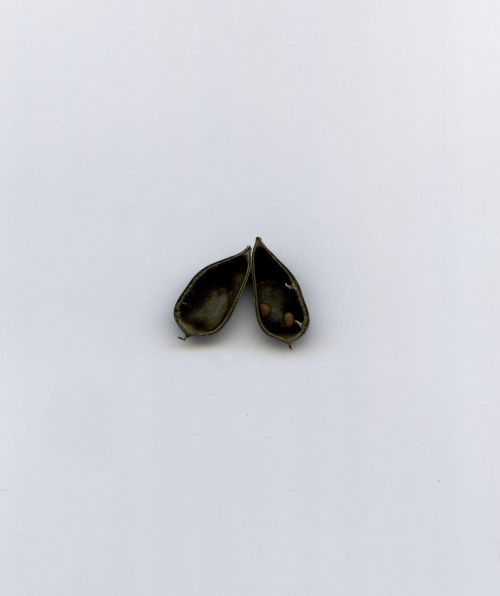 Seed pod.jpg