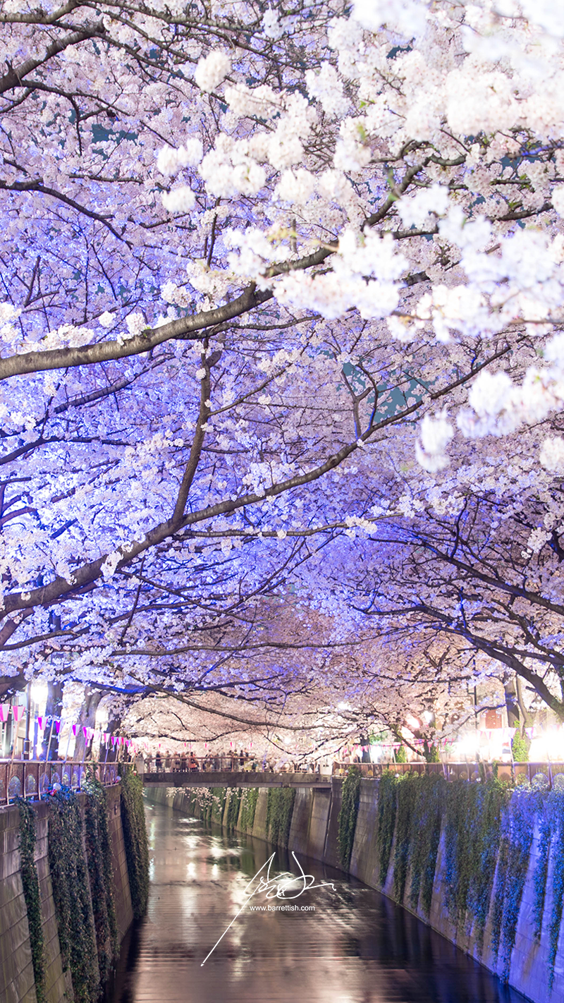 Naka-Meguro cherry blossom tunnel over the Meguro River   DOWNLOAD     I also have this as a print!