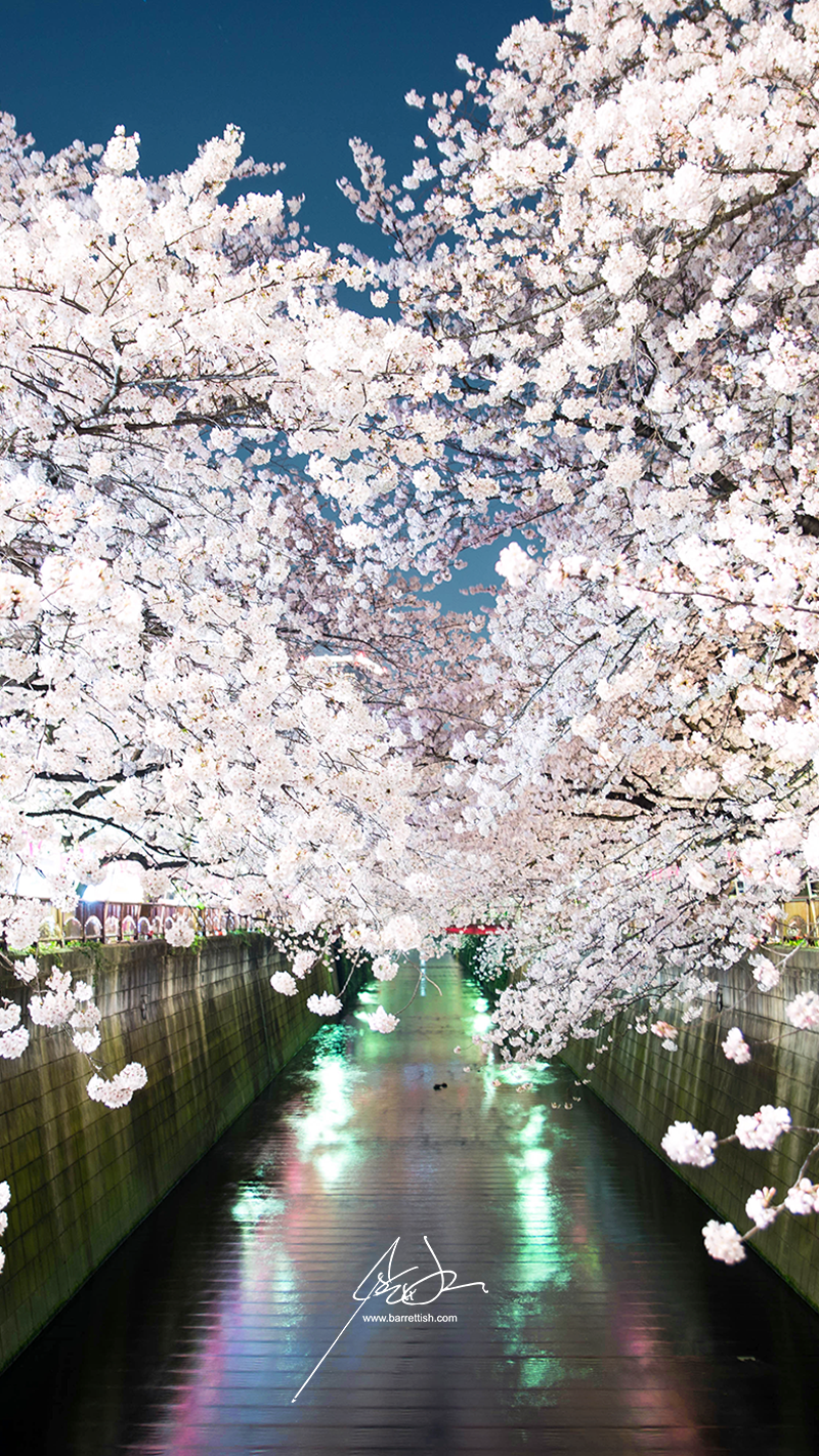 Cherry blossom clouds over the Meguro River in Naka-Meguro, Tokyo   DOWNLOAD