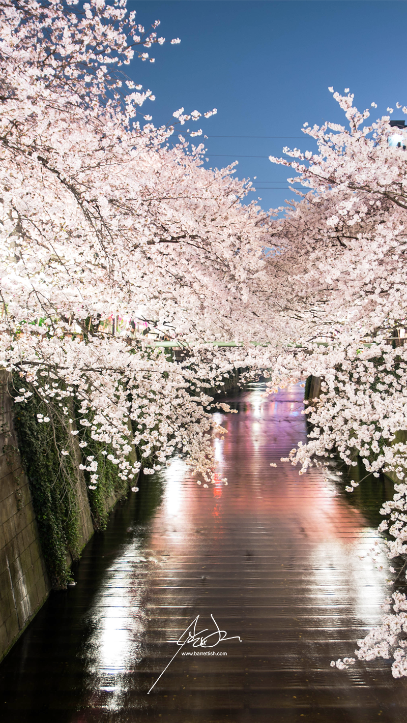 Cherry blossoms drape over the sides over the Meguro, Tokyo   DOWNLOAD
