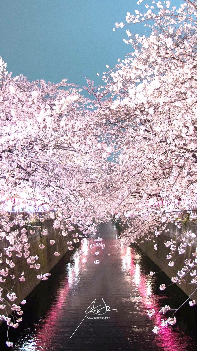 Cherry blossoms over the pink lanterns in Naka-Meguro, Tokyo   DOWNLOAD
