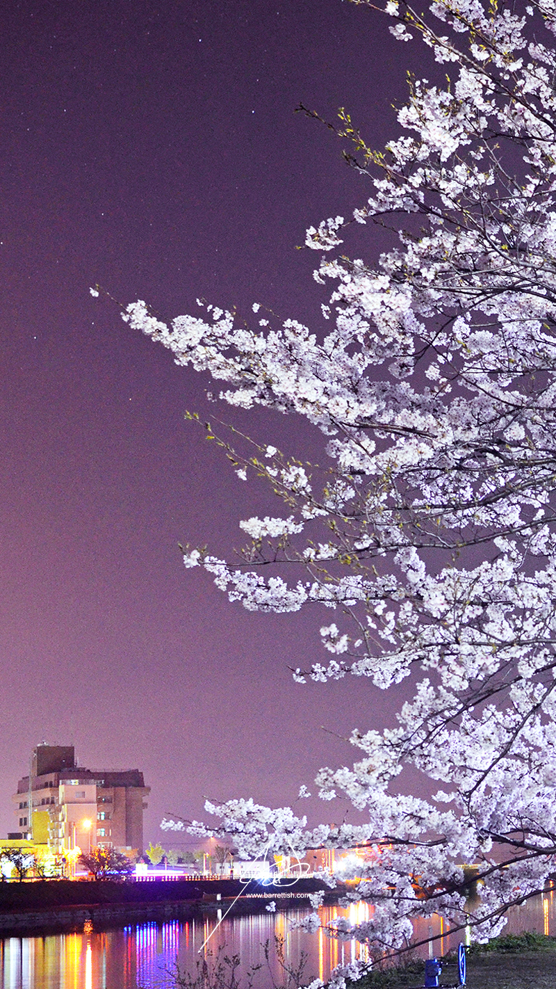 Lights reflect over the cherry blossom-lined Imagawa river in Yukuhashi, Fukuoka   DOWNLOAD