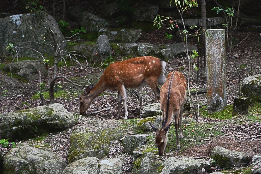 Deer at Miyajima