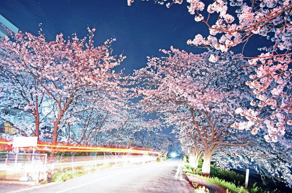 A car passing under cherry blossom sakura trees along the Imagawa river in Yukuhashi, Fukuoka