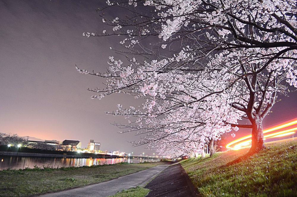 The bank of the Imagawa river at night under the cherry blossoms