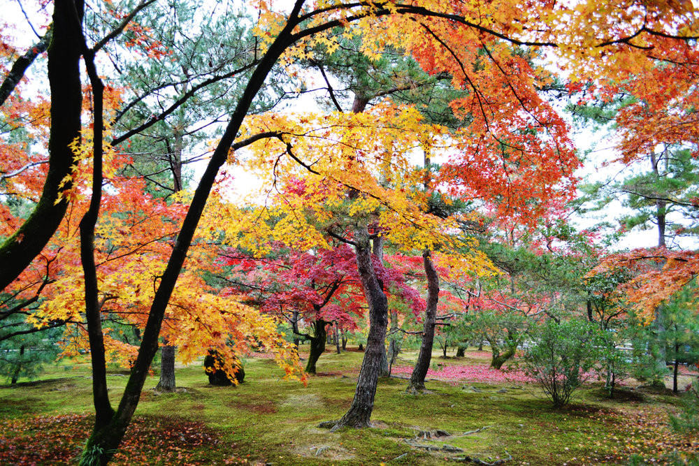 Fall leaves in the gardens at Kinkakuji temple in Kyoto