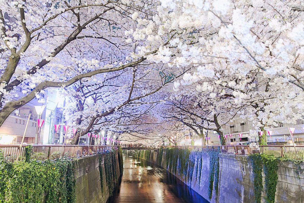 Cherry blossom tunnel in the evening over the Meguro River - [  BUY PRINT  ]