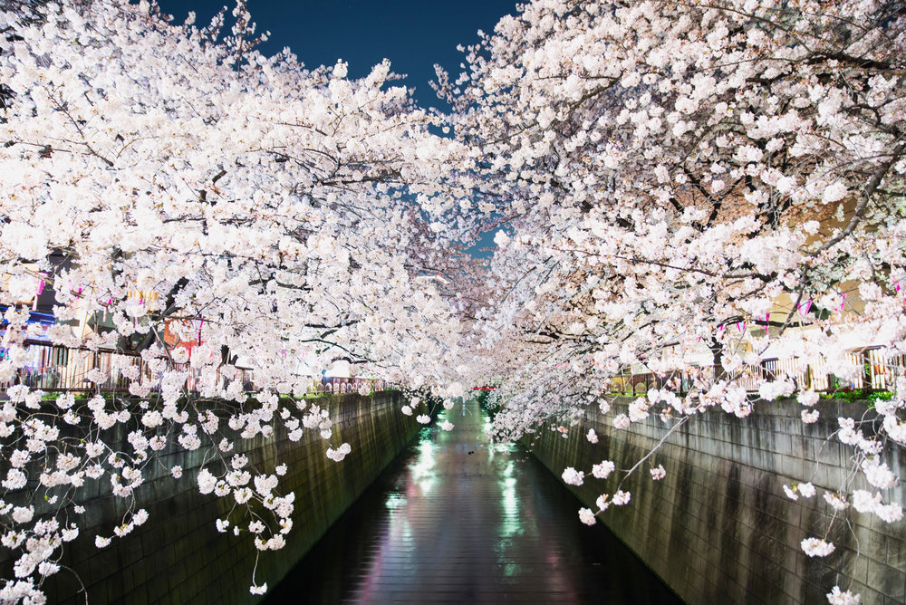 Cherry blossoms over the Meguro river in Nakameguro, Tokyo