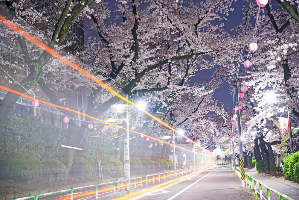 A tunnel of cherry blossoms near Nihon University in Shimotakaido