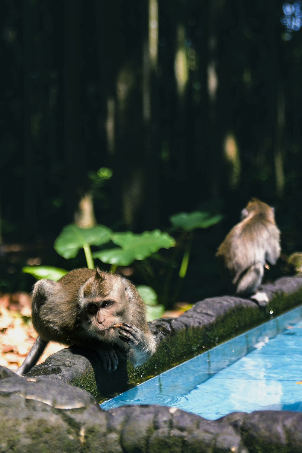 A monkey sits by a pool of water at Sangeh Monkey Forest in Bali.