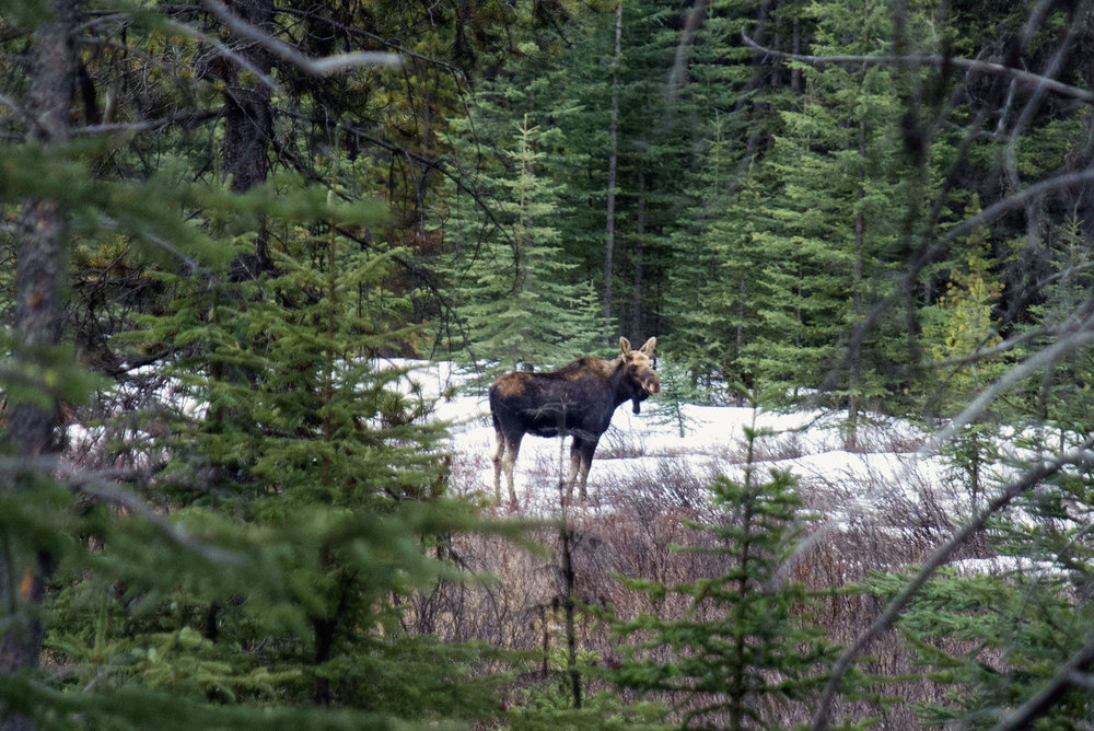 A wild moose hanging out in Banff