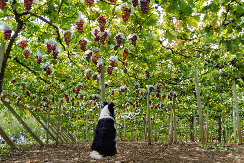 A dog watching over the vineyard for wild boars