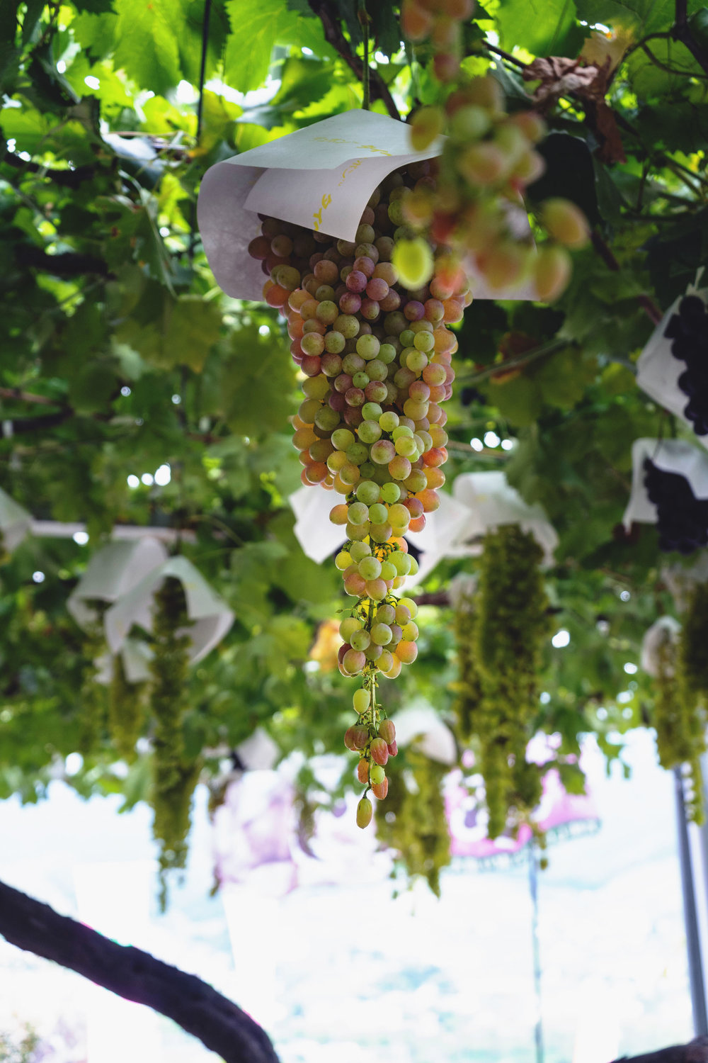 Grapes on the vine - each bunch gets a cover to protect it from the rain