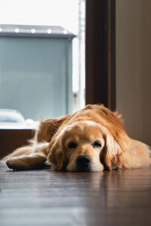 The Ikeda Winery family dog, Emma, an older former breeder.